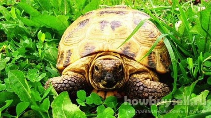Как выбрать черепаху для дома — домашнего любимца